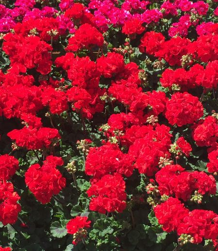 RED gerani Red Full Frame Plant Backgrounds Growth Flowering Plant Flower Nature Flower Head Petal