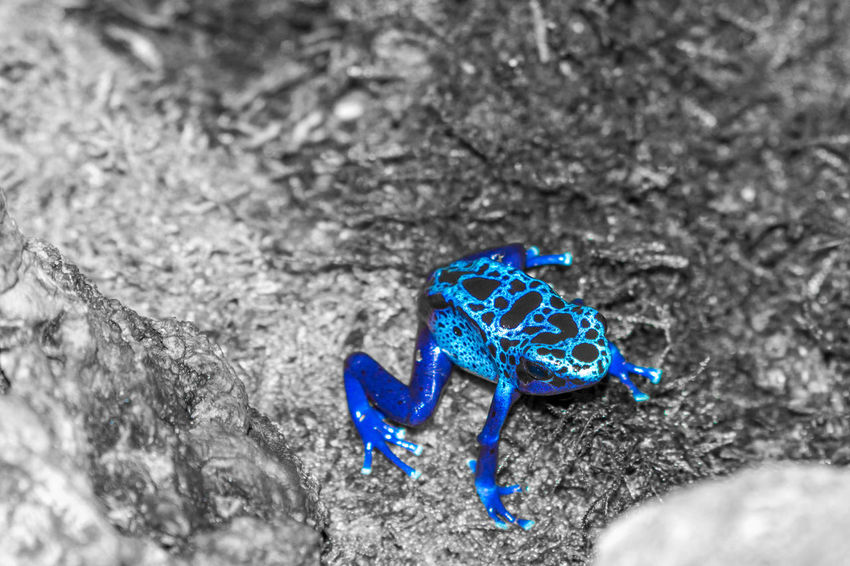 Absence Animals In The Wild Beauty In Nature Black And White Black And White Color Blue Close-up Day Focus On Foreground Frog Ground Nature No People Outdoors Pair Poison Poison Dart Frog Purple Selective Focus Still Life