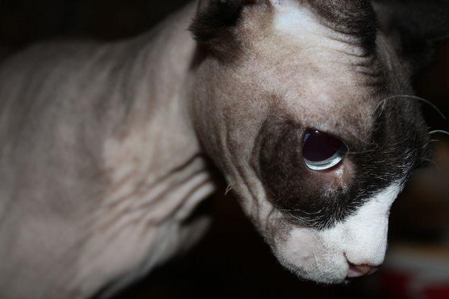Pet Portraits EyeEm Selects Pets Close-up Sphynx Cat Hairless Cat Portrait