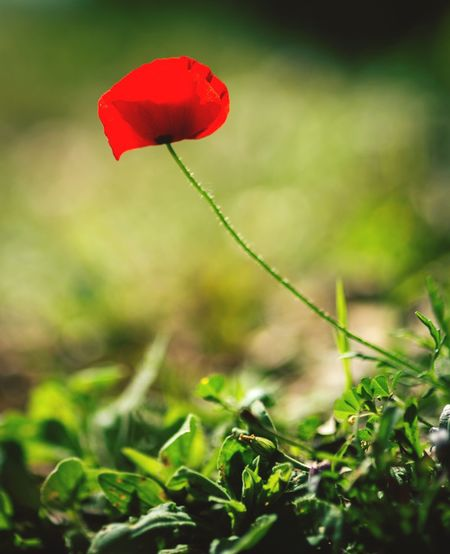 red flower closeup Plant Red Flower Beauty In Nature Flowering Plant Vulnerability  Growth Fragility Freshness Nature Land Petal Inflorescence Close-up Flower Head Day Field Focus On Foreground Poppy Green Color