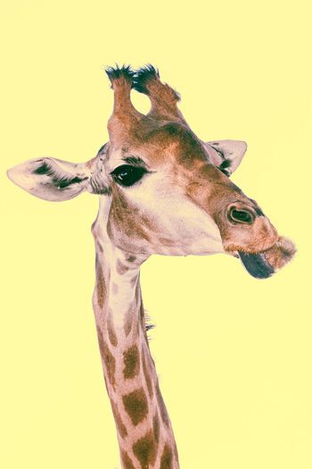 Close-up of giraffe against gray background