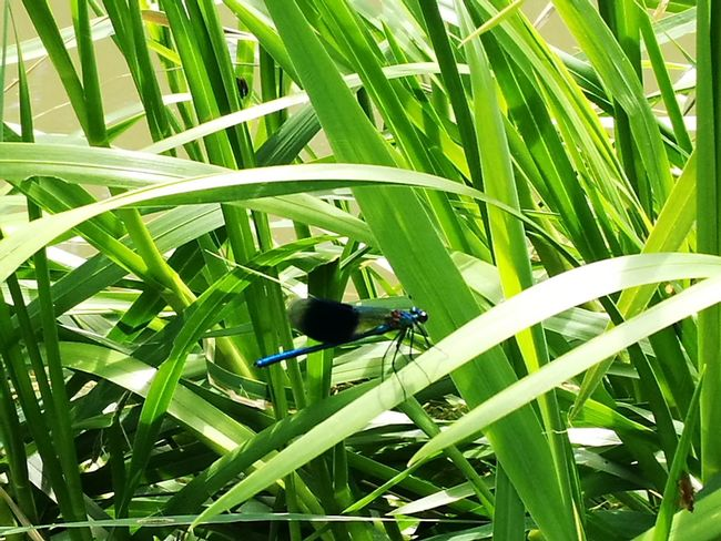 """""""One dragonfly"""" One Animal Insect Animal Themes Animals In The Wild Wildlife Animal Wildlife Nature Green Color Day Growth Grass Outdoors Leaf Plant No People Beauty In Nature Close-up Perching"""