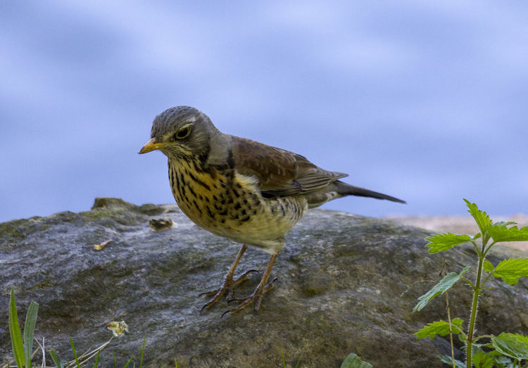 Animal Animal Wildlife Animals In The Wild Beauty In Nature Bird Fieldfare Nature One Animal Outdoors