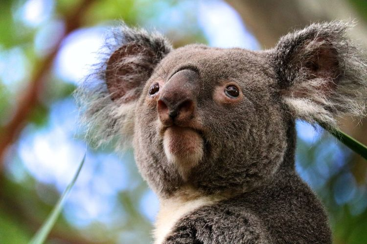 Close-up portrait of a koala