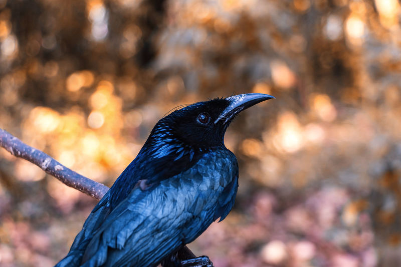 Animal Themes Tree Bird Animal One Animal Animal Wildlife Animals In The Wild Vertebrate Perching Nature Focus On Foreground Day Outdoors No People Black Color Close-up Beak Raven - Bird Crow Side View