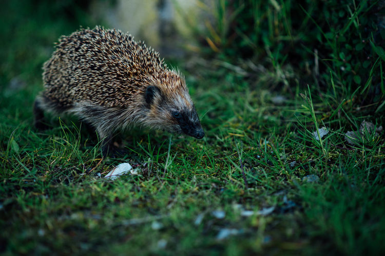 Close-Up Of Hedgehog On Grassy Field