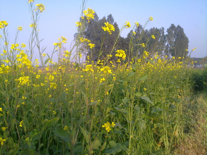 Flowers Mustard Fields