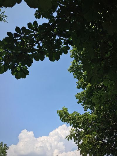 Kastaniendach Hot Day Sky Tree Plant Leaf Plant Part Nature No People Beauty In Nature Cloud - Sky Blue Outdoors Green Color Growth Environment Day Tranquility Travel Summer