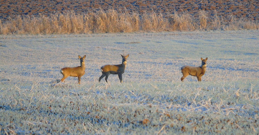 Animal Themes Animal Wildlife Animals In The Wild Antler Day Grass Mammal Nature No People Outdoors Roe Deer Wildlife