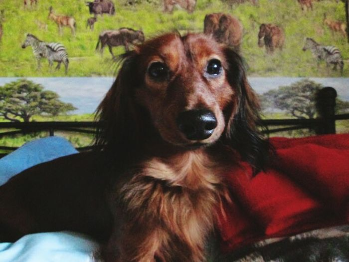 Mein Kleiner ? Hunde At Home Taking Photos Cheese! Beutiful  Check This Out Colour Portrait Bett Cute