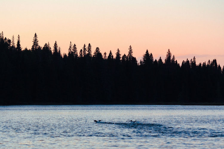 Algonquin Park Algonquinpark Algonquinprovincialpark Animal Themes Animal Wildlife Animals In The Wild Beauty In Nature Bird Clear Sky Cold Temperature Day Nature No People One Animal Outdoors Scenics Sea Silhouette Sky Sunset Tranquil Scene Tranquility Tree Water