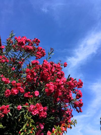 Blue Flower Growth Fragility Beauty In Nature Low Angle View Nature Freshness Tree Sky Plant Pink Color Cloud - Sky