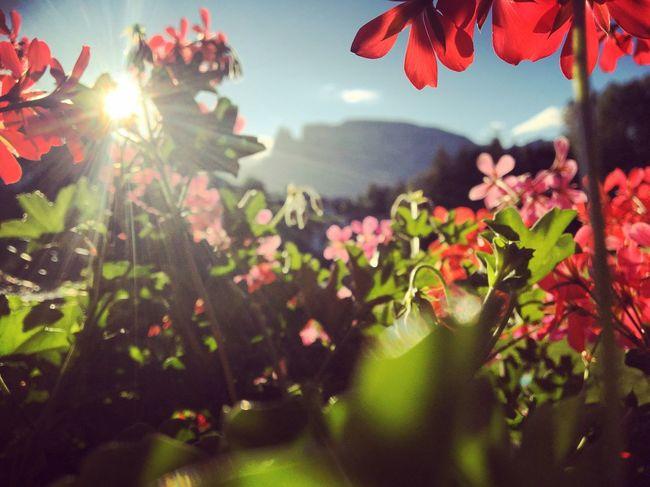 Summer Sciliar Südtirol Urlaub Italien Alpen Ritten Dolomiten Renon Schlern Geranien Sunrise Sonnenaufgang Spätsommer