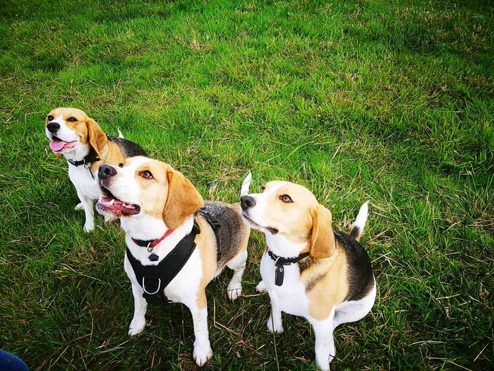 Dog Pets Beagle Beagles  Dogs