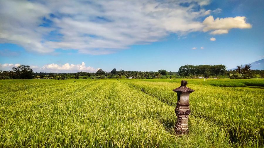 Transfer Bali INDONESIA Rural Scene Full Length Standing Agriculture Field Crop  Farm Plantation Rice Paddy Rice - Cereal Plant