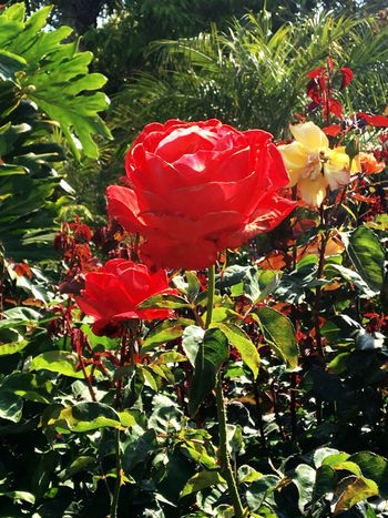 Big Rose &Little Rose - Mom & Me ❤️ Colors Of Nature Colorsofspring Roses Flower Photography Flowers, Nature And Beauty