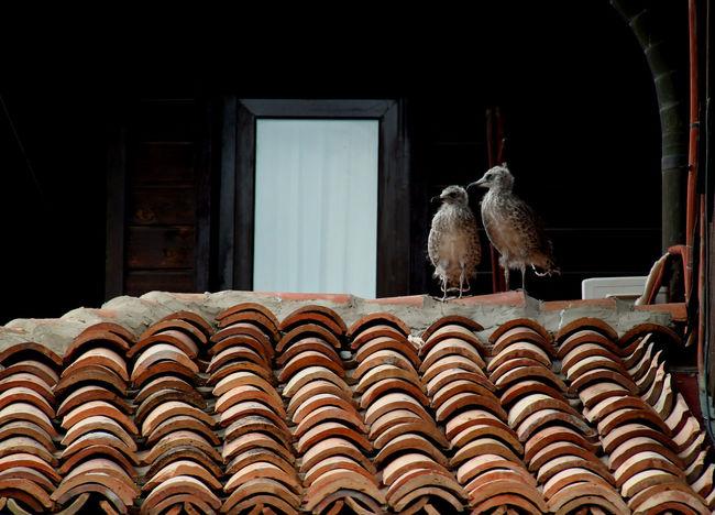 Birds Chiks Nestlings Ornate Roof Roof Tile Rooftop