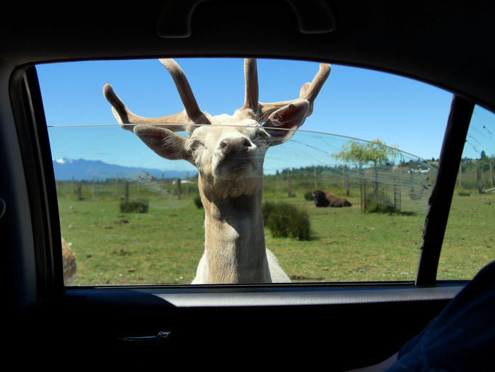 Close-up of horse seen through car window