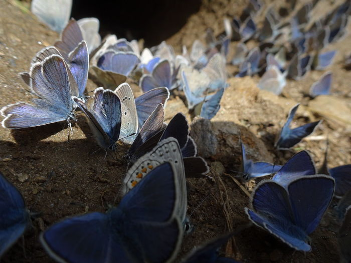 Italian Apls over 2200 mt Glaucopsyche Alexis Lycaeninae Polyommatus Beauty In Nature Blue Close-up Day Dry Field Focus On Foreground Fragility Freshness High Angle View Land Leaf Leaves Lycaenidae Nature No People Outdoors Plant Plant Part Selective Focus Shell Vulnerability