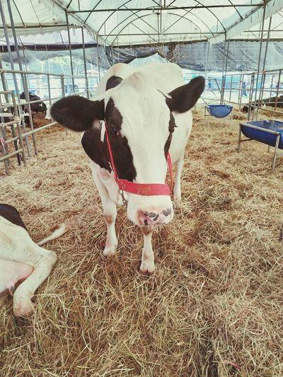 Animal Farm Cow