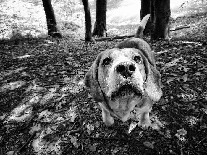 Dog Pets Domestic Animals One Animal Animal Themes Mammal No People Beagle Beaglelife Outdoors Day Tree Portrait Nature Pit Bull Terrier Close-up Pet Portraits