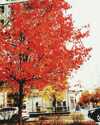 Red autumn tree in city