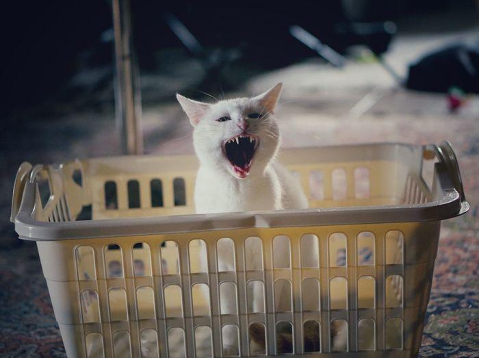 Pets Kitten One Animal Sleepy Cat♡ Whitecat Wäschekorb Gähnende Killerkatze Kätzchen Katzen