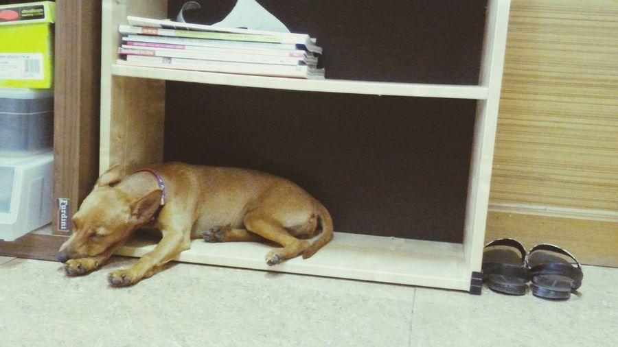 Don't disturb. Pets Dog Mini Pincher Minipinscher Minature Pincher Doglover Dog Love Dogs Doglovers Dog❤ Dog Lover Dogslife Pet Dog Life