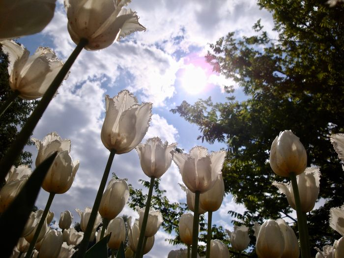 tulips in season - Tulpemblüte Beautiful Nature Beauty In Nature Cloud - Sky Eriße Tulpen Eye4nature Eye4photograghy EyeEm Nature Lover Flower Flower Heads Frühlingsblumen Growth Low Angle View Nature No People Outdoors Plant Sky Spring Flowers Springtime Sunlight Tulipanes🌷 Tulipmania Tulips🌷 Tulpenblüte White Tulips