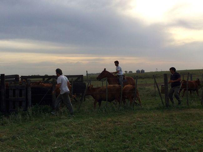 Rural Scene Horse Riding Cows Scenics Landscape Hacienda Campo Argentina Gaucho Argentino Gaucho Manga