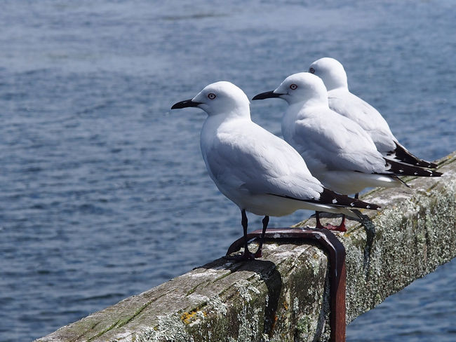 Thee beautiful sea gulls lined up on a wharf railing Tranquil Animal Themes Animal Wildlife Animals In The Wild Beauty In Nature Bird Close-up Creation Day Focus On Foreground Jetty Structure Lake Lined Up In A Row Nature No People One Animal Outdoors Peaceful Perching Sea Seagull Water White Color