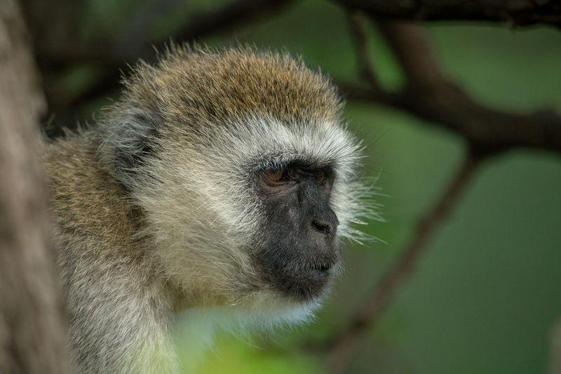 Vervet monkey behind tree trunk stares right