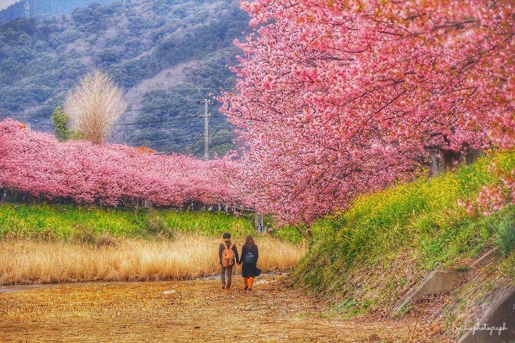 ただただ羨ましい。 あなたと見隊 サクラ 河津桜 河津桜まつり Japan Cherry Blossoms
