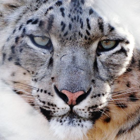 Snow Leopard. Snow Leopard Snow Leopard Animals Animal Face Leopard Face Face To Face Stare Predator Cat Beautiful Eyes Animal Stare Fierce Feline Showcase: February White Tiger Safari Animals Endangered Species Mammal One Animal Looking Wildlife Close-up