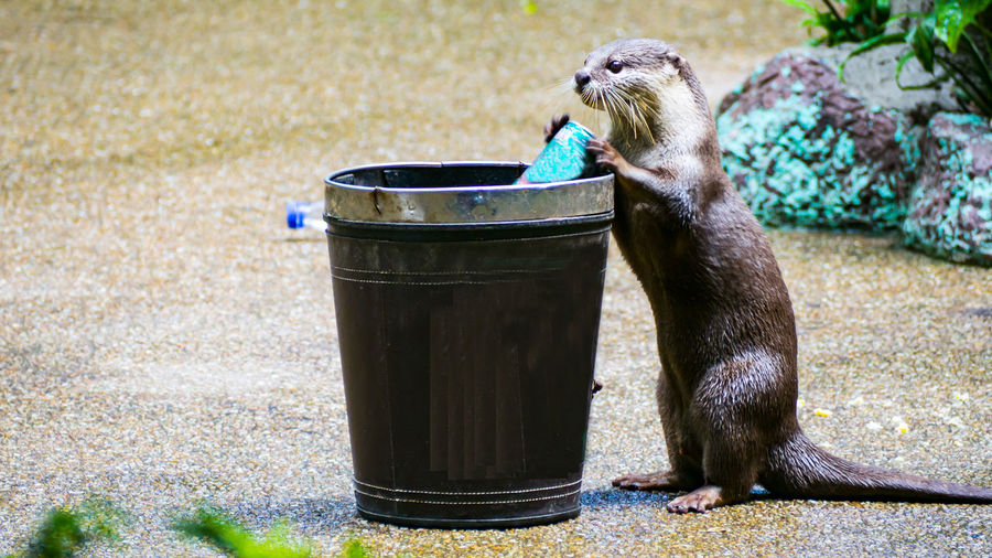 Otter by bucket at zoo