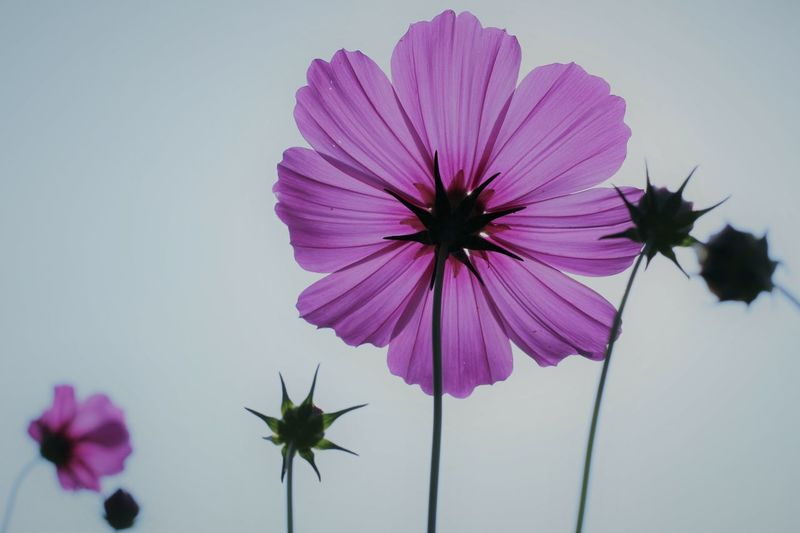Close-up of purple cosmos flowers blooming against clear sky