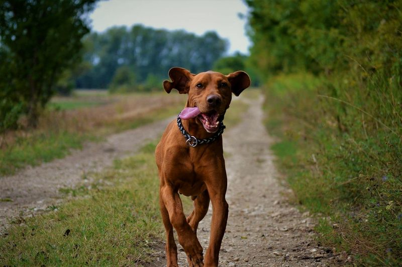 Vizsla ❤ Dog Pets Domestic Animals Animal Themes Animal Day Outdoors Brown Sky Nature Happiness Fressnapf Anione Love Follow