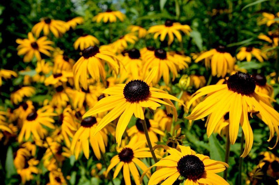 Flowers Yellow Daisies Black Eyed Susans Black Eyed Susan Yellow Flowers Flower Photography