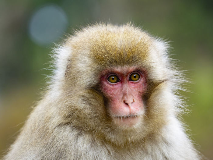 Animal Animal Themes Monkey Primate One Animal Animal Wildlife Animals In The Wild Mammal Portrait Looking At Camera Animal Head  Close-up Japanese Macaque Focus On Foreground Animal Body Part Vertebrate Animal Hair Hair No People Day Care Baboon