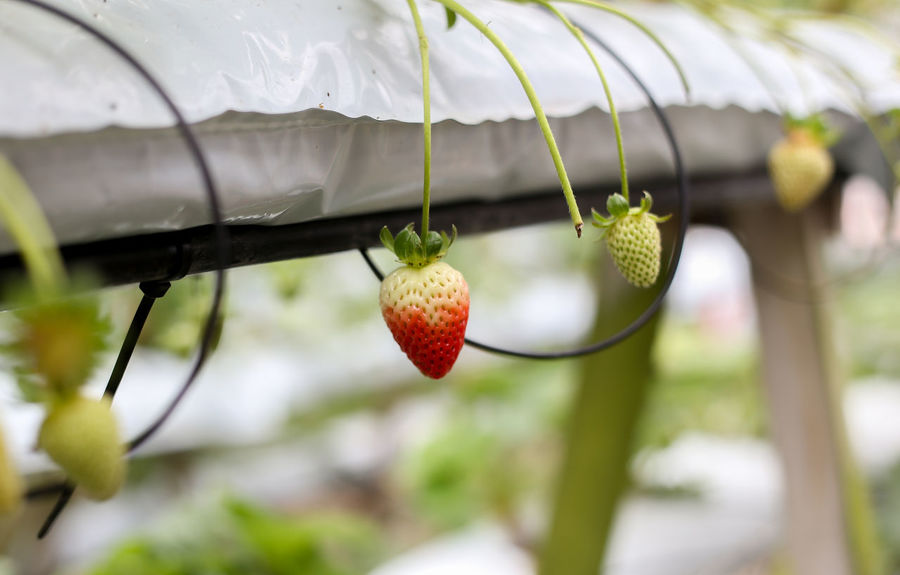 Strawberry Strawberries Fruit Healthy Eating Food And Drink Food Focus On Foreground Freshness Growth No People Close-up Day Plant Wellbeing Red Nature Outdoors Berry Fruit Ripe Tree Hanging Green Color