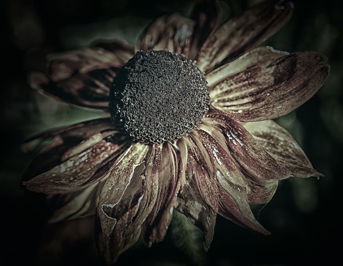 Evanescence Autumn Death Fugacity Mortality Beauty In Nature Blooming Brittleness Close-up Day Decease Demise Ephemerality Evanescence Exitus Fall Flower Flower Head Fragility Freshness Growth Nature No People Outdoors Petal Plant