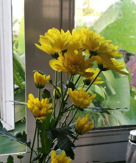 Yellow Crysanthemum Freshness Beauty In Nature