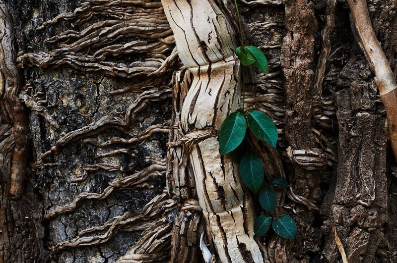 Parasite vine Parasite Parasite Plant Vine Forest Wood Decaying Decay Dry Tree Tree Trunk Plant Plant Part Nature No People Close-up Root Trunk Wood - Material Outdoors Growth Day Plant Bark Leaf Rainforest Textured