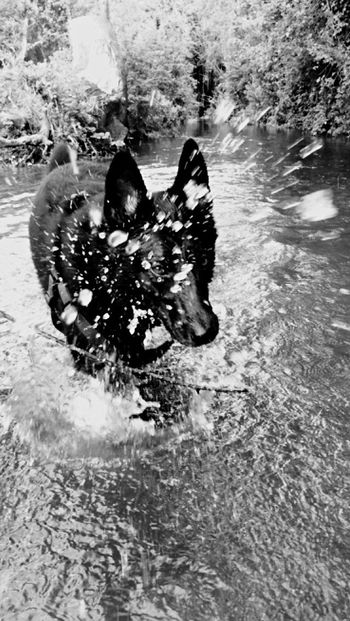 Dog Ilovemydog Hanging Out Hello World Doggy Love Water Beautiful German Shepherd Eyes High Contrast Splash Water Splash Dog Walking EyeEm Nature Lover Manbestfriend