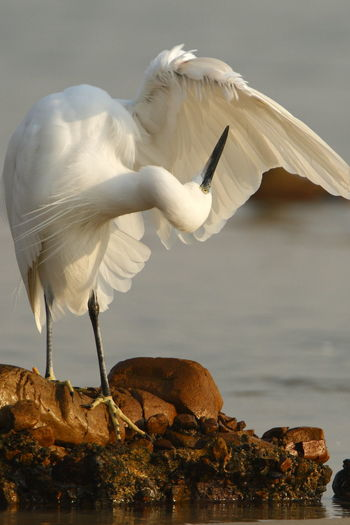 Animal Themes Animal Wildlife Animals In The Wild Beauty In Nature Bird Day Egret Flying Nature No People One Animal Outdoors Preening Preening Birds Sky Spread Wings
