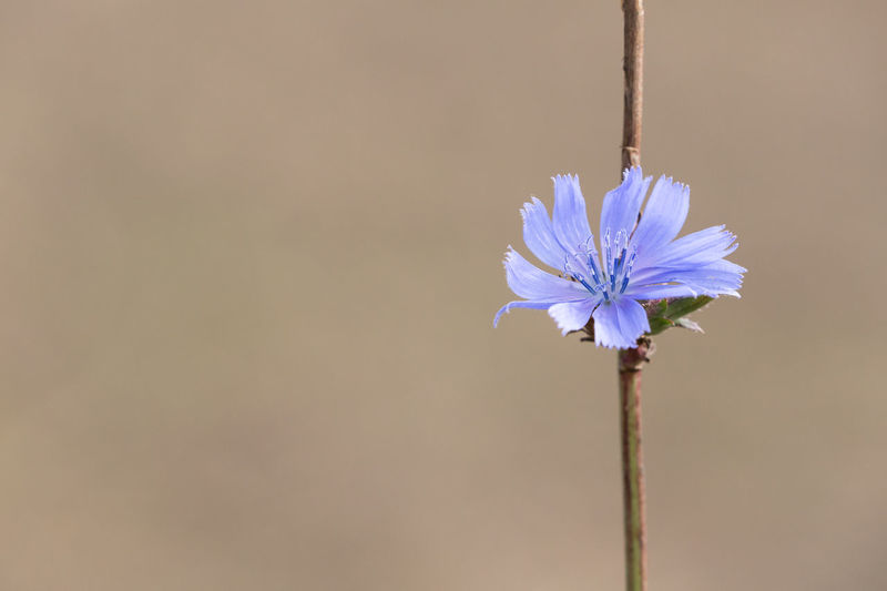Close-Up Of Chicory Blooming Outdoors
