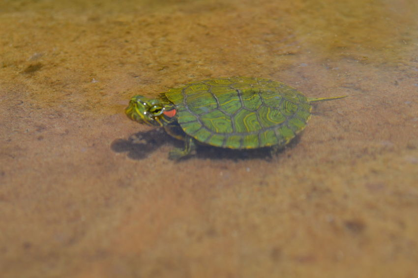 Red-eared slider or red-eared terrapin. Semiaquatic turtle. Norman, Oklahoma Red-eared Slider Terrapin Turtle