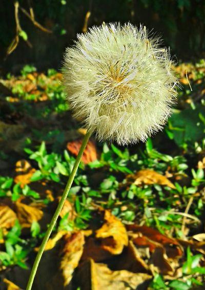 Natureza Perfeita♡♥ Dente De Leão Brasil ♥ Peruíbe Dandelion Dandelion Collection