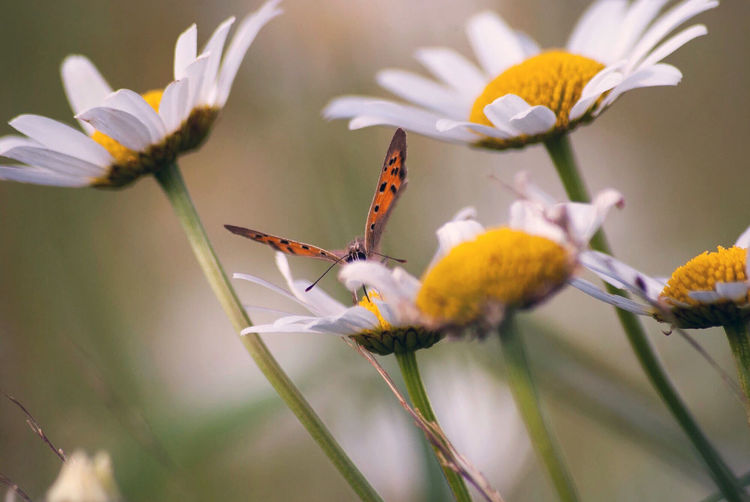 Flowering Plant Flower Plant Fragility Freshness Petal Vulnerability  Beauty In Nature Growth Close-up Flower Head Animal Themes Insect Invertebrate Animal Animals In The Wild Inflorescence Animal Wildlife One Animal Nature No People Pollen Pollination Butterfly - Insect