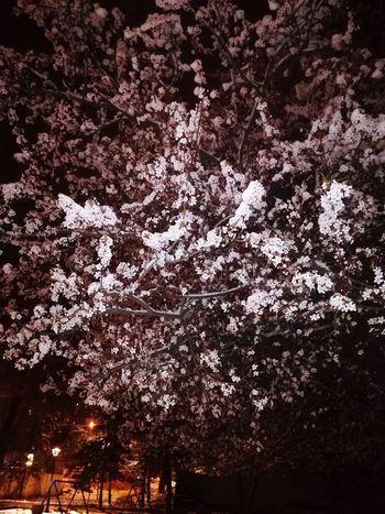 Sakura In Serbia Snow ❄ EyeEm Best Shots EyeEmNewHere EyeEm Nature Lover Eye4photography  Tree Branch Flower Sky Close-up Cherry Blossom Snow Covered